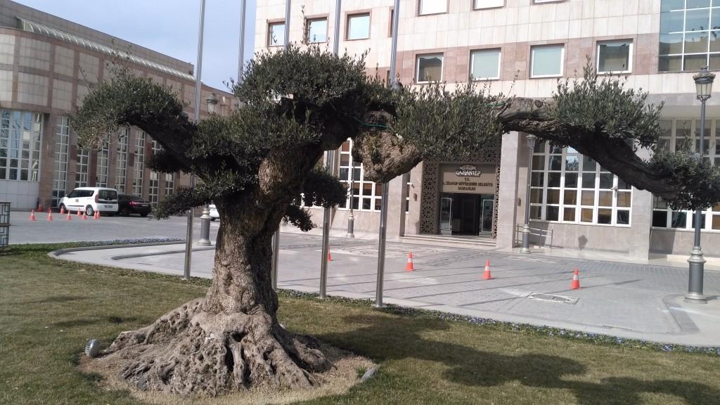 Gaziantep'de yaşlı zeytin ağacı